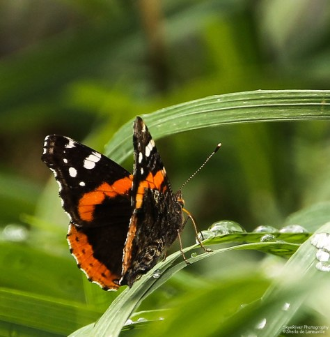 Red Admiral (4)