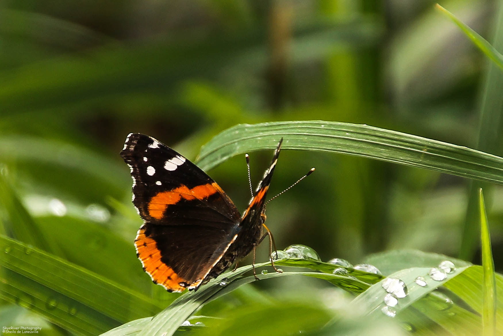 OTW:~Red Admiral Butterfly~ | Wolf Song Blog