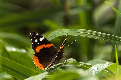Red Admiral (5)