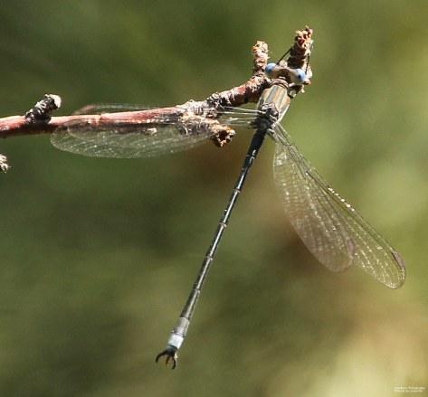 Damselfly (Lestidae Speedwing)