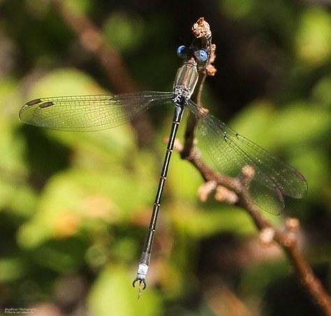 Damselflies (Lestidae Speedwing)
