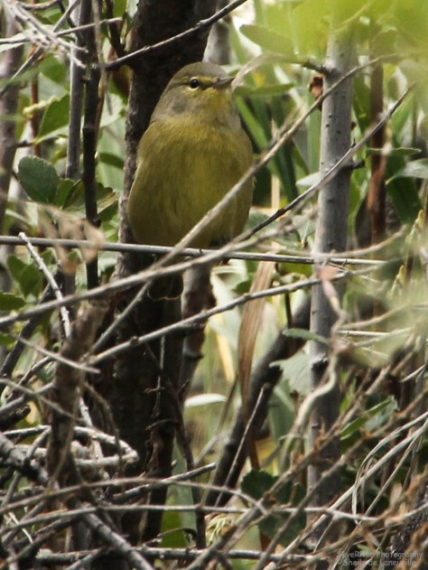 Orange-crowned Warbler?