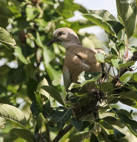 Sitting in an Apple Tree (looks like a juvenile to me)