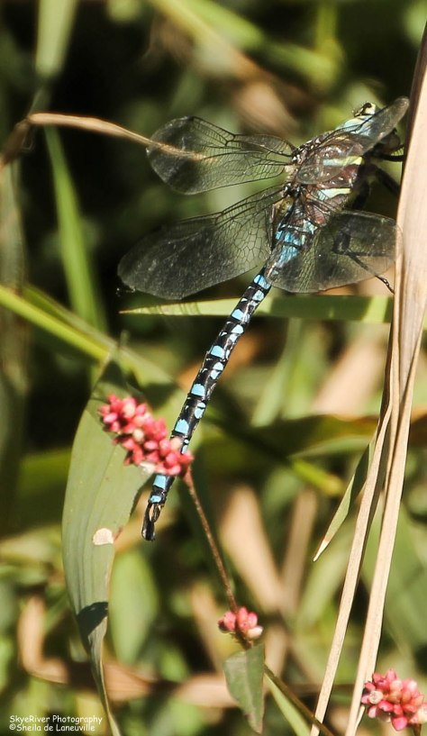 Blue Dragonfly and Red Flowers