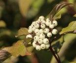 White Berries - 1