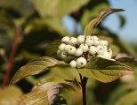 White Berries - 2