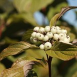 White Berries - 2