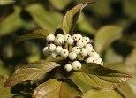 White Berries - 3