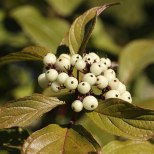 White Berries - 3