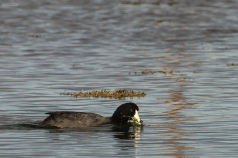 American Coot (1)