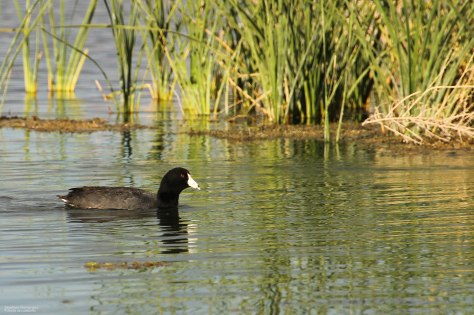 American Coot (3)