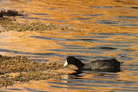 American Coot (6)