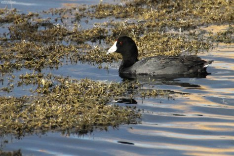 American Coot (4)