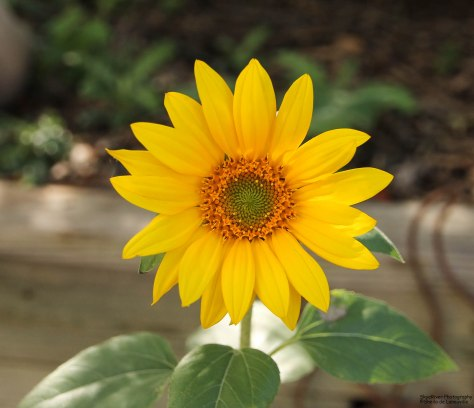 Sunflower in October