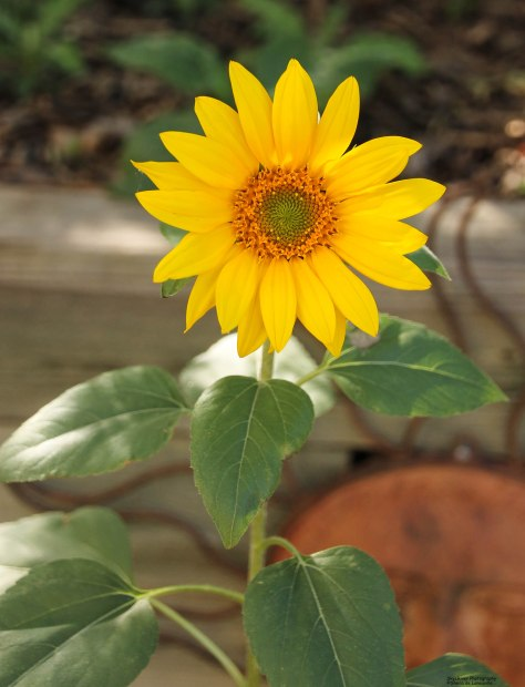 Sunflower by the Sun!