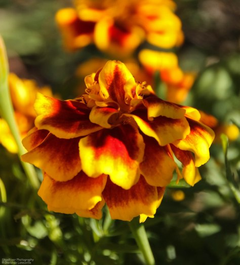 Two-tone Marigold