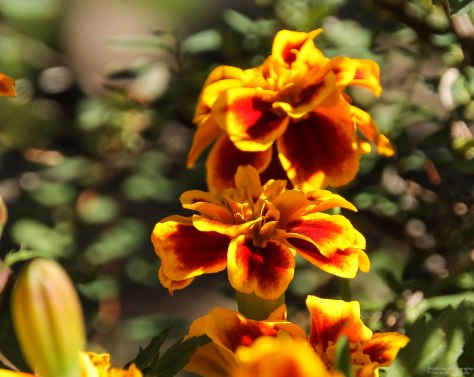 Another Marigold