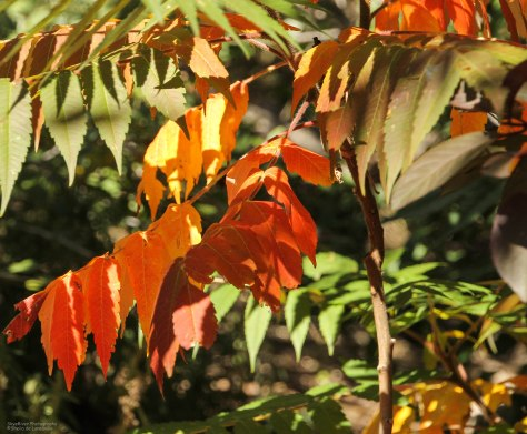 A young Sumac announces autumn beautifully
