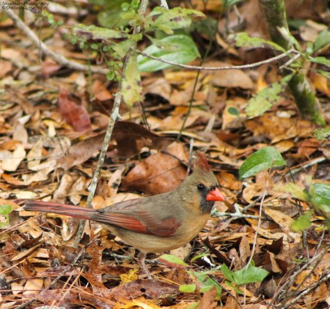 Northern Cardinal (female) - 02/19/2012