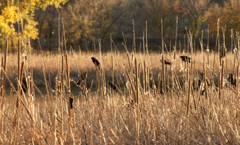 Blackbirds enjoy the Reeds