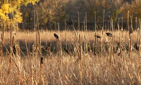 Blackbirds enjoy the Reeds