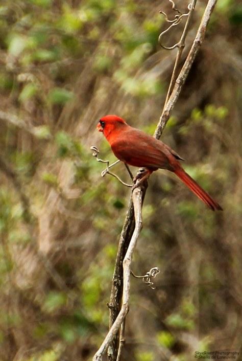 Northern Cardinal (male) - 03-22-2013 ~Swinging~