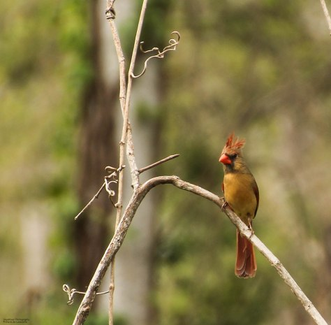 Northern Cardinal (female) - 03-22-2013 ~Bad Hair Day~