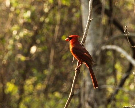 Northern Cardinal (male) - 03-22-2013 ~Sunlit~