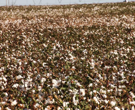 American's Fields of Cotton