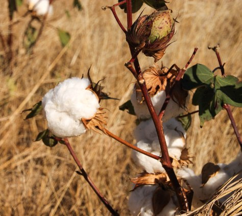 Cotton (made in the USA)