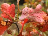Rain Drops and Oak Leaves