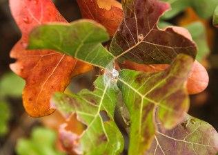 More colorful Oak Leaves
