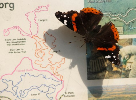 "Red Admiral ""May I help you?"" ""Which way would you like to hike?"""