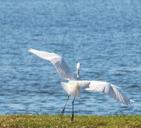 Great Egret making a perfect landing