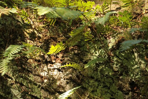 Ferns and Moss love the Live Oak Trees