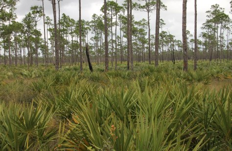 A Field of Palmettos