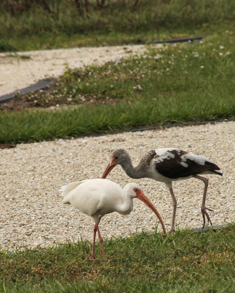Looking for the perfect RV site! White-faced Ibis (the brown and white one is 1st fall)