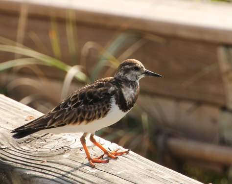 A handsome shorebird