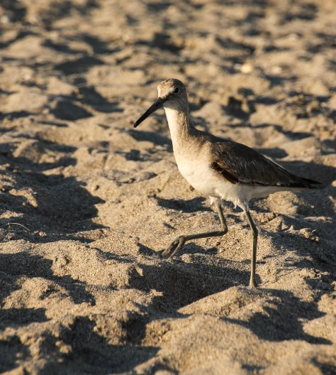 I believe this is a Willet (winter)