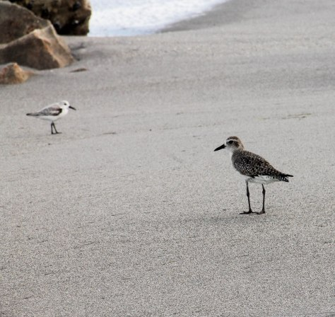 Black-bellied Plover (winter)