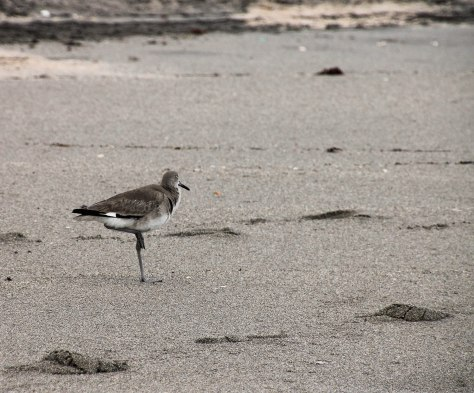 Willet (winter)
