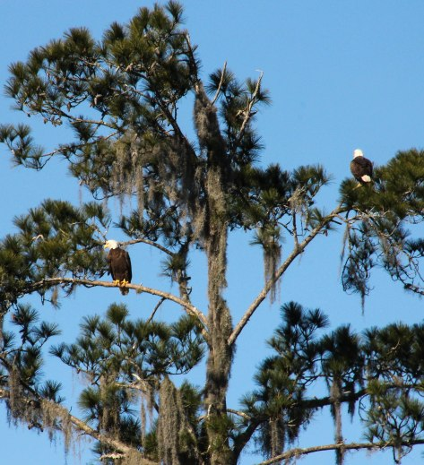 Bald Eagle (female)
