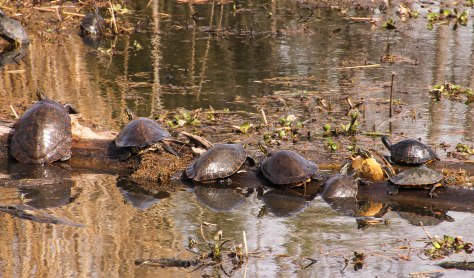 Sunning Turtles