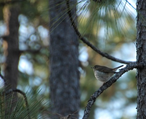 I think a Hermit Thrush