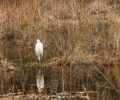 Great Egret fishing in the stream