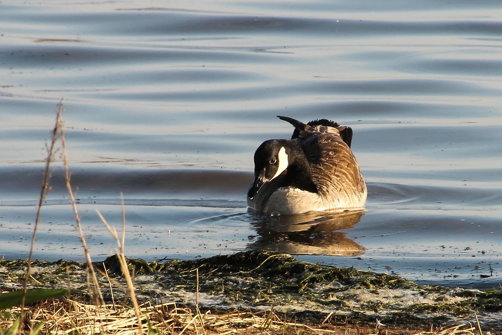 Canada Goose' official pickleball
