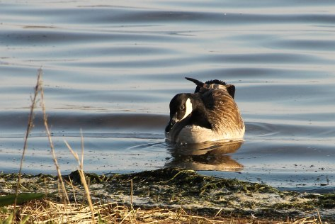 A Canada Goose drinking a sip of water