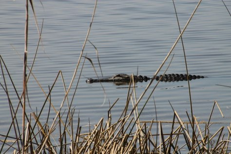 Back Yard Gator (one of two hanging out behind our coach)
