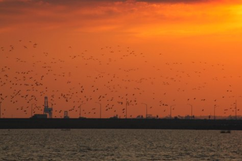 Hundreds of ducks landing in the Bay for the night!