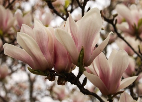 Japanese Magnolia (my brother love to plant trees and blooming scrubs)